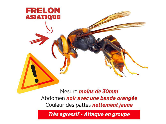 Vigilance frelon asiatique